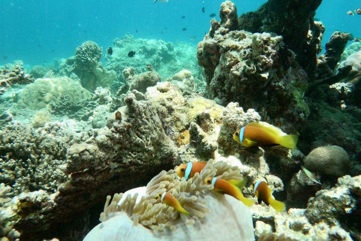 10879_Soneva-Fushi-Nemo-Fish-Around-Coral-in-the-Baa-Atoll