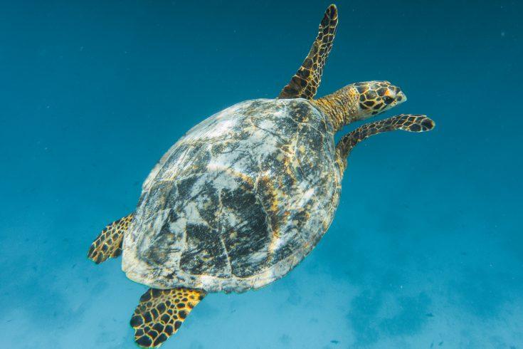 6756_Soneva-Fushi-Turtles