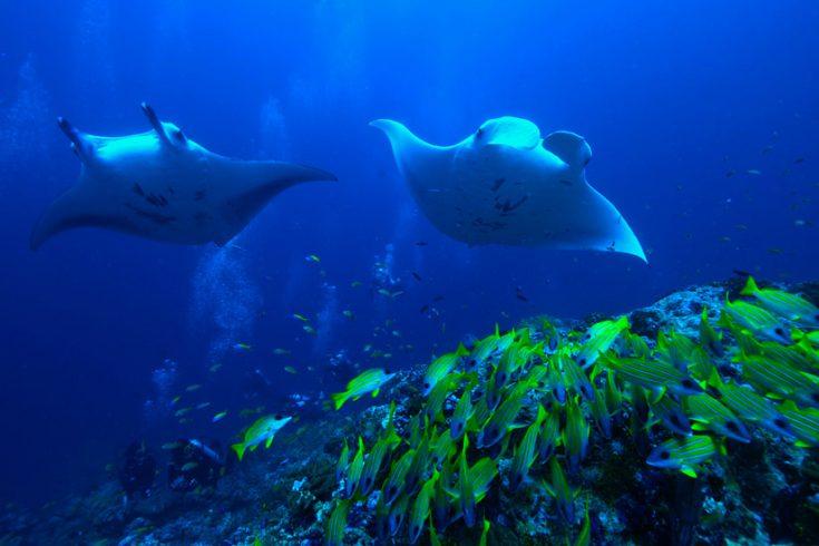 RMM_1495219_Underwater_stingray