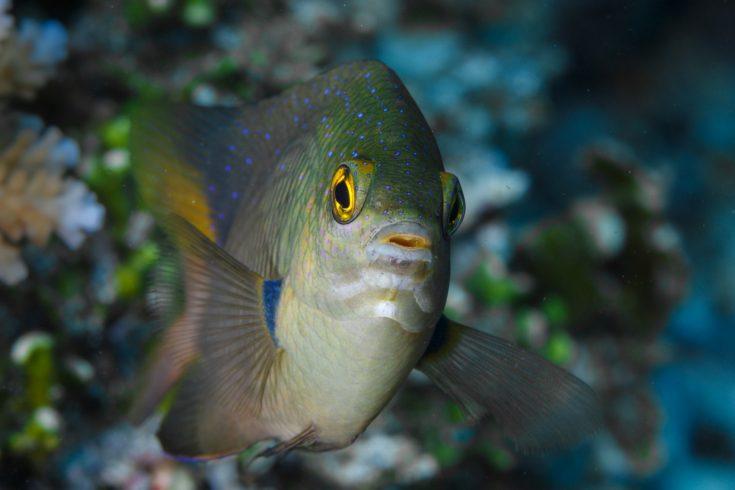 Damselffish_[9024-LARGE]